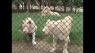 Животные в зоопарке Пекина изнемогают от жары (новости)