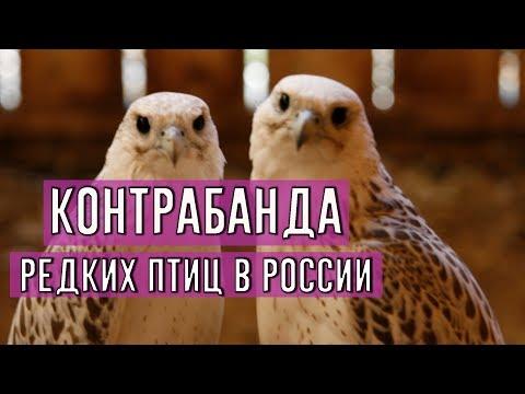 Смотреть Контрабанда редких птиц в России онлайн