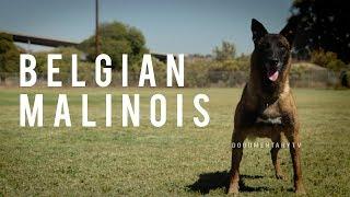 Chó nghiệp vụ Malinois Becgie bỉ giống chó thông minh nhất  Thế Giới