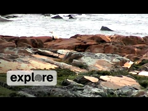 EXPLORE HIGHLIGHTS | Cape Merry Polar Bear sighting!