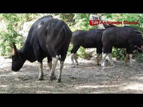 คลิปเจอกระทิงตัวใหญ่ในป่า ใหญ่มากๆ Gaur.