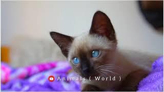Siamese Cat video waocute cat cat breed amazing  #animalsnatural #animalsnature #subscribe