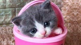 「かわいい猫」 笑わないようにしようとしてください - 最も面白い猫の映画 #340