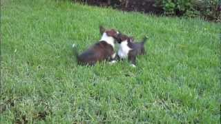 Cute Puppies Fos And Ebo Playing (cardigan Welsh Corgi's; 8 Weeks Old, 2nd Day In New Home)