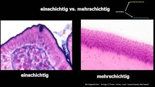 Histologie Oberflächenepithelien