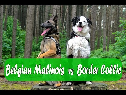 Belgian Malinois vs Border Collie