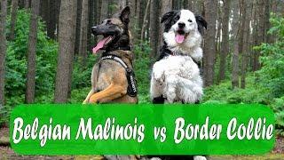 Belgian Malinois vs Border Collie