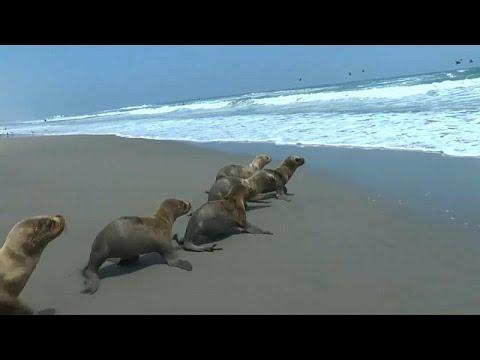 فيديو: إنقاذ 6 فقمات صغيرة وإعادتها إلى المحيط في بيرو  - نشر قبل 2 ساعة