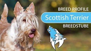 Scottish Terrier Breed, Temperament & Training