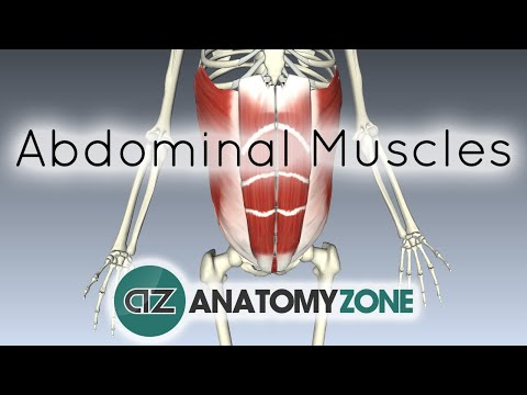 Muscles of the Anterior Abdominal Wall - 3D Anatomy Tutorial
