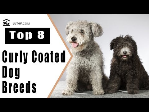 Top 8 Curly Coated Dog Breeds - Curly Haired Dog Breeds