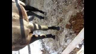 Лошадь не встает на заднюю правую ногу.MOV(, 2013-02-19T12:54:03.000Z)