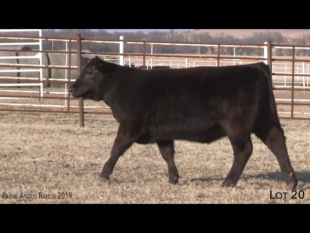 Payne Angus Ranch Lot 20