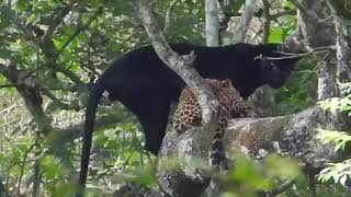 Black Panther and Leopard Mating...