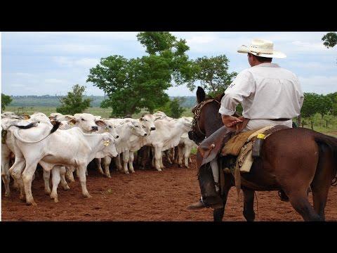 Manejo Racional de Gado para Vaqueiro - Zona de Fuga e Ponto de Balanço