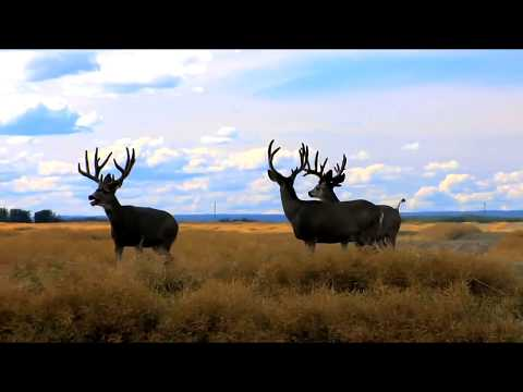 Trophy Class Mule Deer Hunting Alberta Canada Heavy Horned Non-Typical Bucks