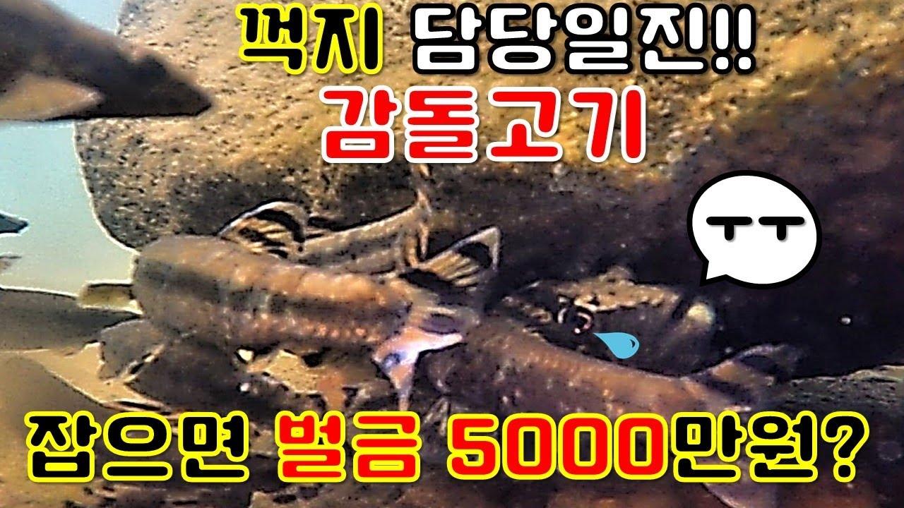 천적인 꺽지 둥지에 탁란하는 미친 물고기.. 감돌고기(물속의 뻐꾸기) 멸종위기1급!! cuckoo black shinner in water