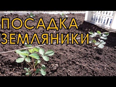 Выращивание ЗЕМЛЯНИКИ (КЛУБНИКИ) из семян. ПОСАДКА рассады на грядку