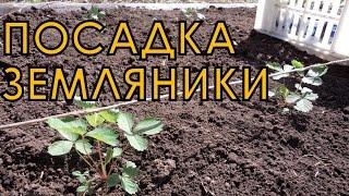 Выращивание ЗЕМЛЯНИКИ (КЛУБНИКИ) из семян. ПОСАДКА рассады на грядку(Как высаживать земляничную рассаду в открытый грунт. Ставьте лайки, комментируйте видео! Мой канал http://www.you..., 2015-05-15T18:39:37.000Z)