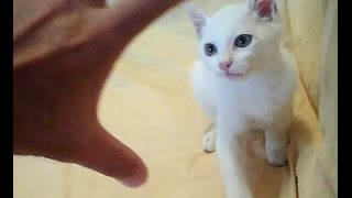 Fighting with my white cat