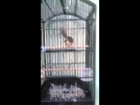 Burung ciblek gunung suara variasi