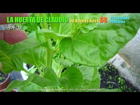 cultivo-de-acelga-orgánica-en-casa---acelga-sin-tóxicos-para-la-salud