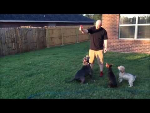 Biggest Blue XL Bully pitbull PUPPY; 7 MONTH OLD MANMADE'S OPTIMUS; MANMADE KENNELS PUPPIES
