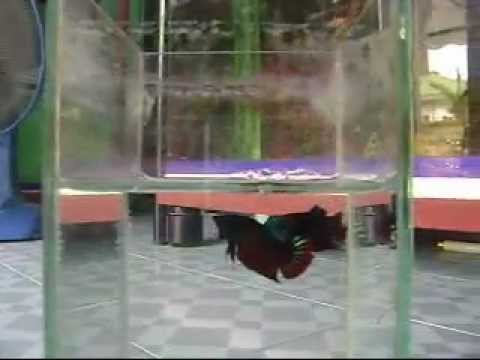 ปลากัดลูกทุ่งผสมแก้มแดง ลูกช้อน