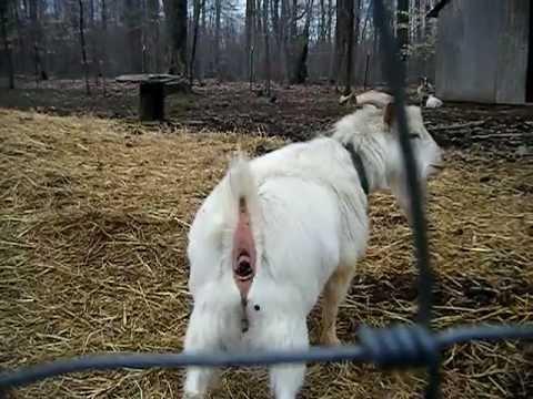 nappy farms, goat shit.MP4