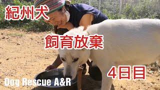 紀州犬北斗くん顔が凄く変わりました。 Dog Rescue A&Rからのお願い 大...