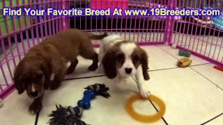 Cavalier King Charles Spaniel, Puppies, For, Sale, In, Kearney, Nebraska, Ne, Fremont, Hastings