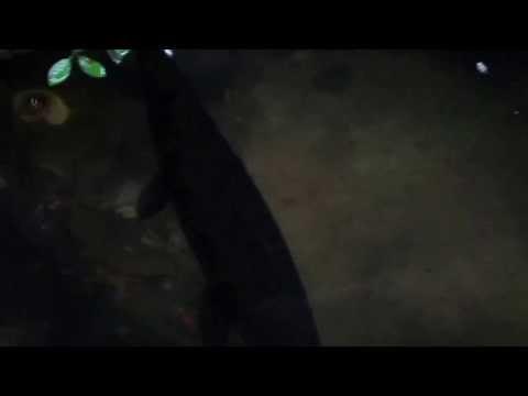 cá sấu mỏ vịt size 80cm ở biên hòa