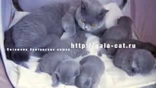 Британские котята в возрасте 2 недели (Litter-J2)