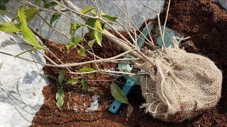 정원과 베란다에 꼭 추천하는 식물, 금목서 | 샤넬 향…