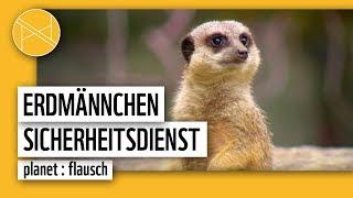 Erdmännchen Sicherheitsdienst - Wer passt auf? | planet : flausch | planet: panda