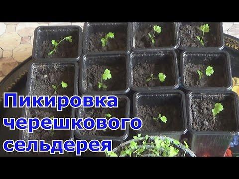 Черешковый сельдерей салат