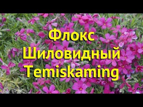 Флокс шиловидный Темискаминг. Краткий обзор, описание характеристик phlox subulata Temiskaming