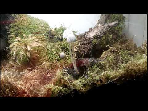 Таймлапс грибы за 24 часа. Timelapse Fungi. Танец грибов. Грибы в террариуме с тритонами.