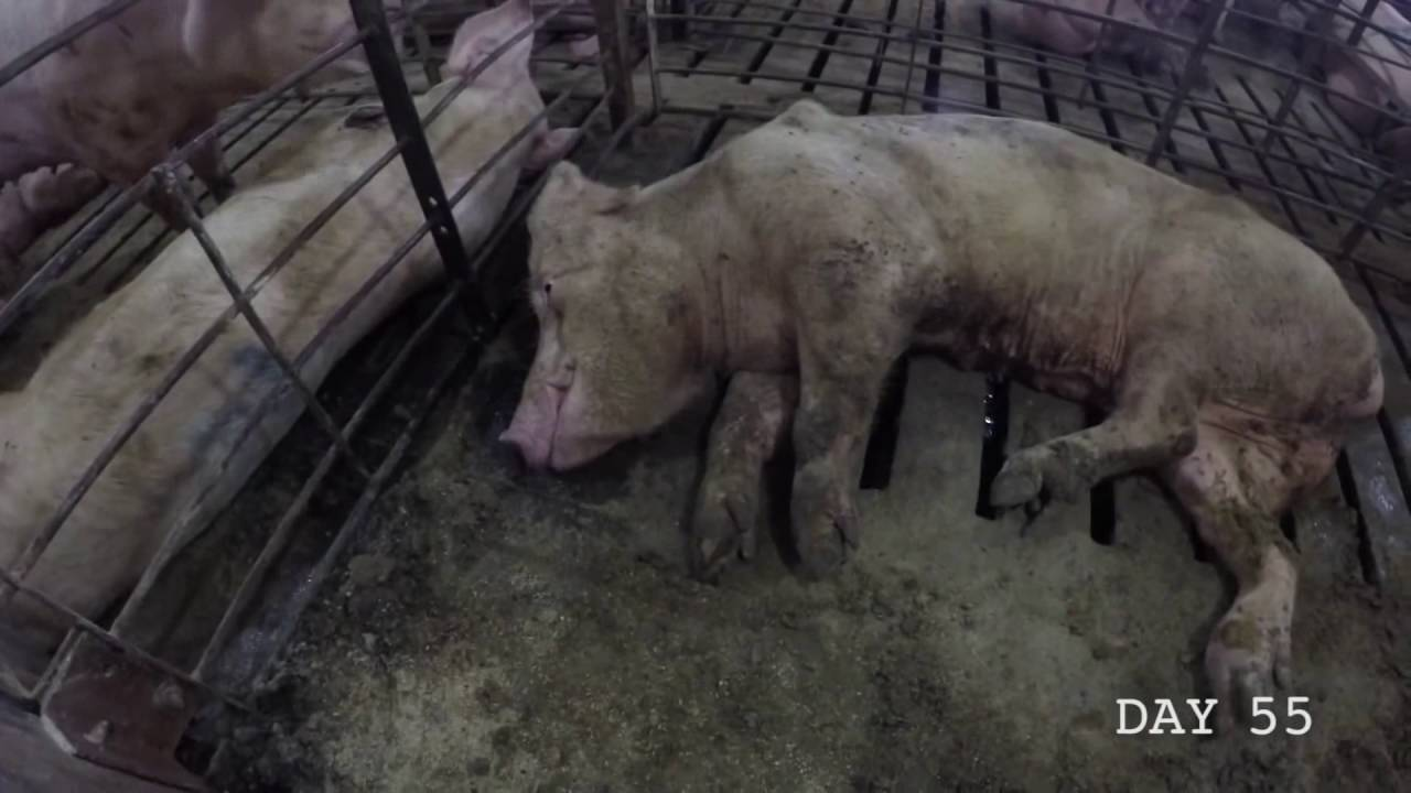 farm abuse A kentucky hog farm operator has fired three workers after an animal rights group  video- taped alleged incidents of animal abuse at the farm.