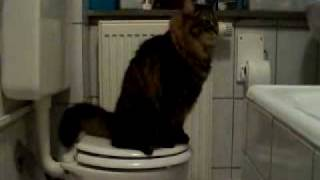 Tigras -  toilet trained cat