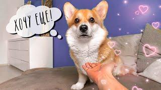 ГЛАЖУ собаку 10 минут! Реакция Таффи/ ВЕЛЬШ КОРГИ