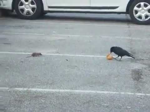Captured a crow sharing its bread with a little mouse 😀