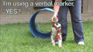 Tunnel Training With A 11 Week Old Border Collie Puppy - Agility Training