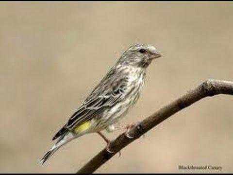Burung Master : Blackthroat super