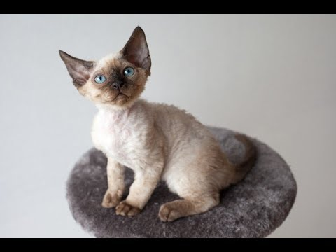 Top 6 world smallest cat breeds in the world | Amazing Explore