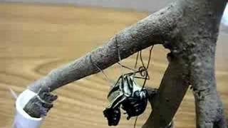 アゲハ蝶の羽化の瞬間その2です。さなぎが木から外れてしまったので画用...