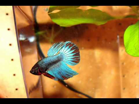 Growth of my male veiltail betta sold as baby female for Baby betta fish