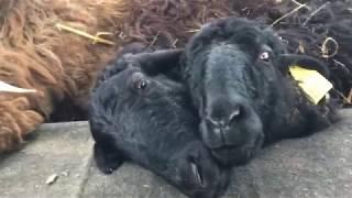 купила эдильбаевских овец
