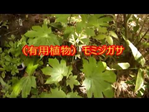 (有用植物)モミジガサ