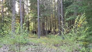 Żubry z terenu Nadleśnictwa Augustów